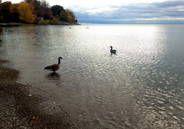 photo of Lake Ontario, silvery in the morning light, with geese.